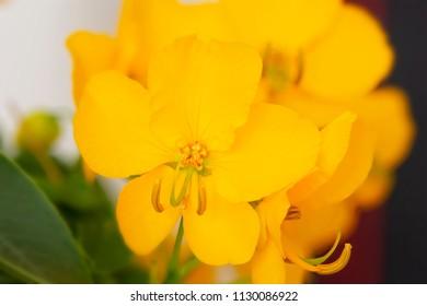 Senna (Cassia Corymbosa) flowers