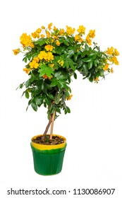 Senna (Cassia Corymbosa) flowers in a pot isolated on white