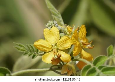 Senna occidentalis, septicweed, stinkingweed, Bana Chakunda
