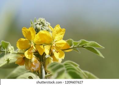 Senna occidentalis, septicweed, stinkingweed, styptic weed, coffeeweed, Bana Chakunda