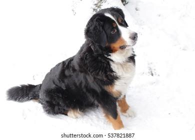 Sennenhund Berne