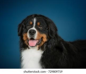 Sennenhund dog studio photo