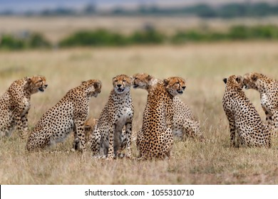 Sensation in the world of wilderness, eight wild Cheetahs together in the Masai Mara. Seven males and the female Malaika at mating time.