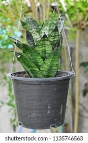 Sensevieria trifasciata or Dracaenaceae in the house garden.