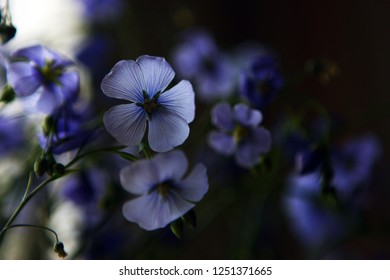 sensitive blue flovers close up