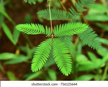 A sensitive compound leaf of Mimosa pudica - sensitive plant, shame plant, touch-me-not.