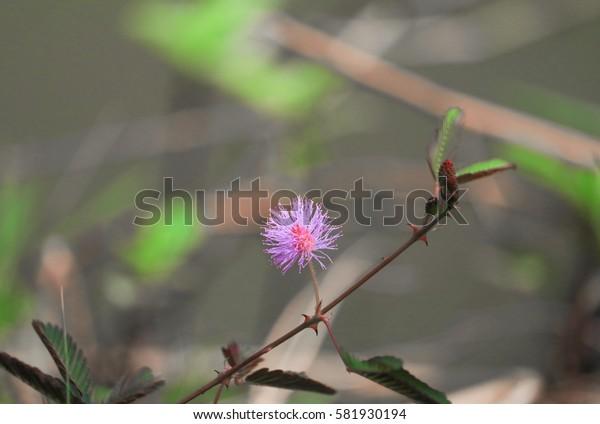 Sensitive plant, Mimosa pudica flower sleepy