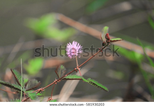 Sensitive plant, Mimosa pudica flower sleepy