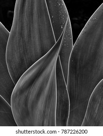 sensual agave plant black and white
