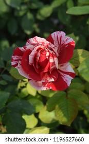 Sentimental rose in garden