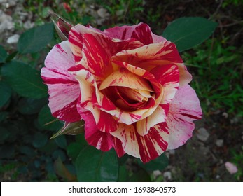 Sentimental Rose, rock and roll, Pink Intuition, striped rose, multicolored, burgundy-red swirled creamy white, polyantha, George burns, candy cane, floribunda, chinensis, multiflora, Rosa, flower