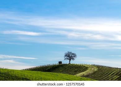 Sentinels - Tree and silo watch over quiet winter vineyards. Asti, California, USA