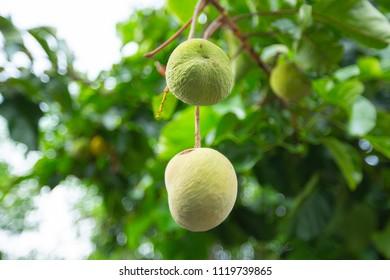 Sentul Tropical Fruit Tree - Shutterstock ID 1119739865