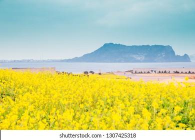 Seongsan Ilchulbong Tuff Cone and yellow rape flower field in Jeju Island, Korea