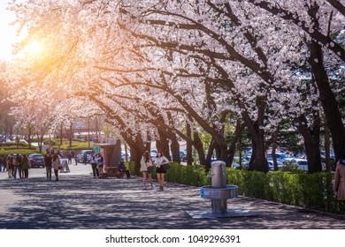 SEOUL - APRIL 06, 2014: Cherry Blossom Festival in spring in Seoul Grand Park, south korea.