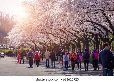 SEOUL - APRIL 06, 2014: Cherry Blossom Festival in spring, Seoul  south korea.