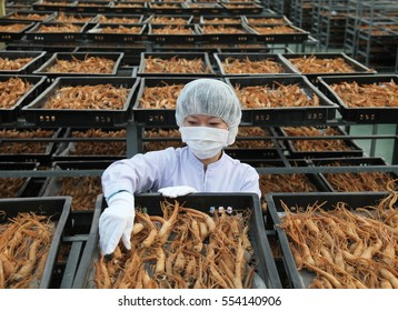 Seoul, Korea - October 17, 2016: Woman worker is drying ginseng for exporting in a company