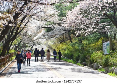 Seoul, South Korea - 11 April 2018 : The Cherry Blossom Path in Namsan Park is the longest trail of cherry trees, This area is famous for the very picturesque cherry blossom street in Seoul.