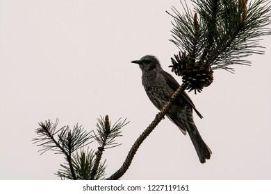 Seoul, South Korea - apr 16 2017: Blackbird-mountain ash (Turdus pilaris)