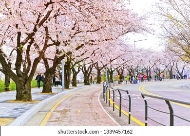 Seoul, South Korea - April 6, 2018 : View of lots of tourists visiting the cherry blossoms at Yeouido Hangang Park in Seoul on April 6, 2018.