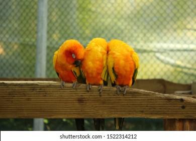 Seoul, South Korea - February 23 2019: Beautiful shot of orange budgerigars (or budgies) inside the cage in Seoul Zoo.