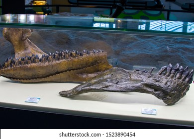 Seoul South Korea Oct 6th 2019:  the Mandible fossil of dinosaur  in Seodaemun Museum of Natural History. The left is triceratops and right one is camarasaurus,