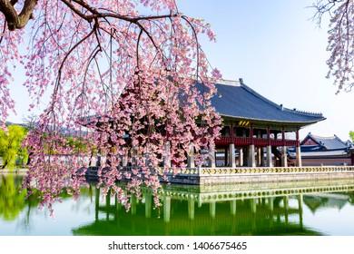 Seoul,South Korea-April 15,2019:Beautiful cherry blossoms  at Gyeongbokgung palace this image can use for travel,Sakura and Holiday concept