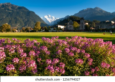 SEP 25, 2013 Interlaken, Switzerland - Pink flowers bush, green field Hohematte park and Swiss alps snow peak Jungfrau of Interlaken, famous town for tourists - image Focus at flower bush