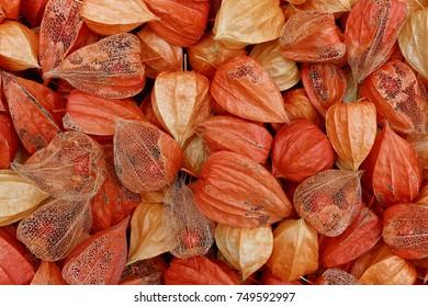 Sepals' closeup of Physalis partly Showing their Inside Berries - Physalis alkekengi