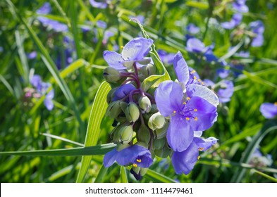 sepals and petals of spiderwort plant or tradescantia ohiensis in full bloom