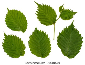 Separate the leaves of the forest hazel. The hazelnut. Isolated leaves.
