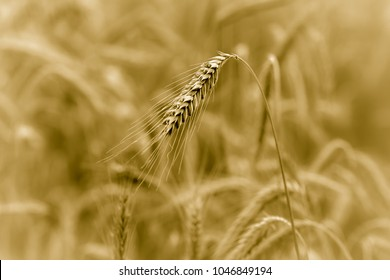 A separated grain in a grains field