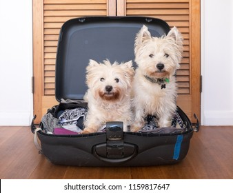 Separation anxiety: two scruffy west highland white westie terrier dogs are in packed suitcase & do not want owner to go on vacation