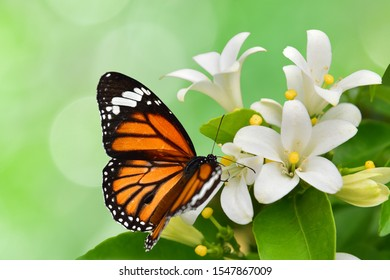 Bộ sưu tập cánh vẩy 4 - Page 7 Sephisa-orange-butterflies-sniffing-white-260nw-1547867009