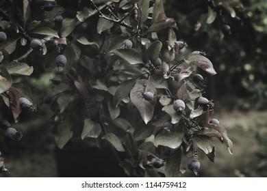 sepia bakgrund, fruit,tree