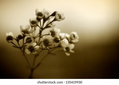 Sepia Coloured Tea Tree Blossom