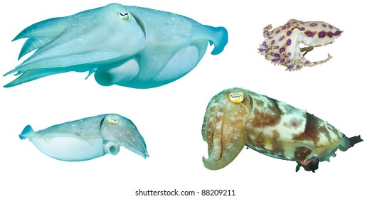 Sepia or Cuttlefish and Blue Ringed Octopus isolated