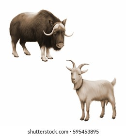 Sepia Illustration of musk-ox, Goat standing up isolated on a white background