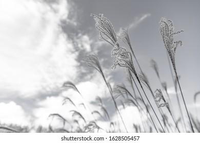 (sepia) Japanese silver grass,Soni Kogen, Nara, Japan at daytime