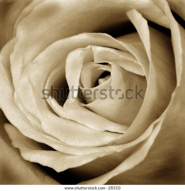 Sepia Rose...