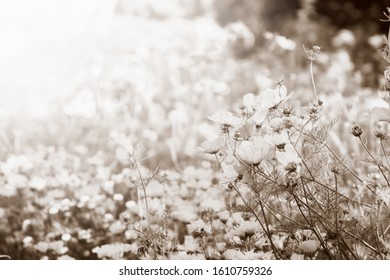 Sepia toned image of field of flowers with sunlight; garden cosmos flowers blooming in a wild flower garden