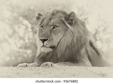 Sepia toned lion portrait