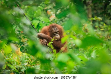 Sepilok Orangutan Rehabilitation Centre, Sandakan, Borneo, Malaysia