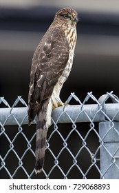 September 2017 Windsor, ON Canada Coopers Hawk Resting on Fence