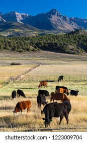SEPTEMBER 2018, Ridgway Colorado, USA - Cows  in field outside of Ridgway Mountains, under view of San Juan Mountains