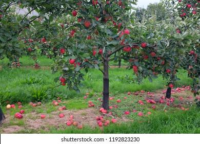 September 2018 - Young apple trees full of fruit