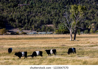 "SEPTEMBER 28, 2018 - Montrose Colorado, USA -Belted Galloway ""Oreo"" Cattle in Montrose Colorado"