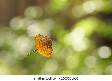 September in the forest, autumn leaf hanging from a single cobweb thread, bokeh, fuzzy background and copy space