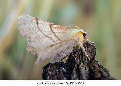 September Thorn ( Ennomos erosaria ) in the family Geometridae. Sitting on tree bark with a blurred background.