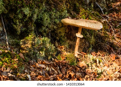 Septfontaines, Luxembourg - October 30, 2016: A large Parasol mushroom grows in the forest behind Septfontaines Castle